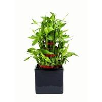 Lucky Bamboo 3 layer Big Indoor Plant Black Pot