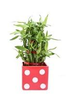 Lucky Bamboo 3 layer Big Red Polka