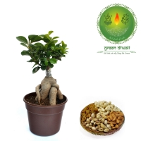 Diwali Gift Grafted Bonsai Combo for Posperity
