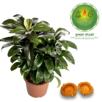 Diwali Gift Cordyline combo for Home Decor